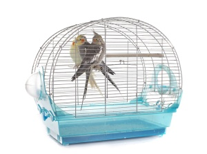 young Cockatiel in cage in front of white background
