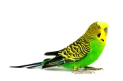 The yellow budgerigar isolated on white background