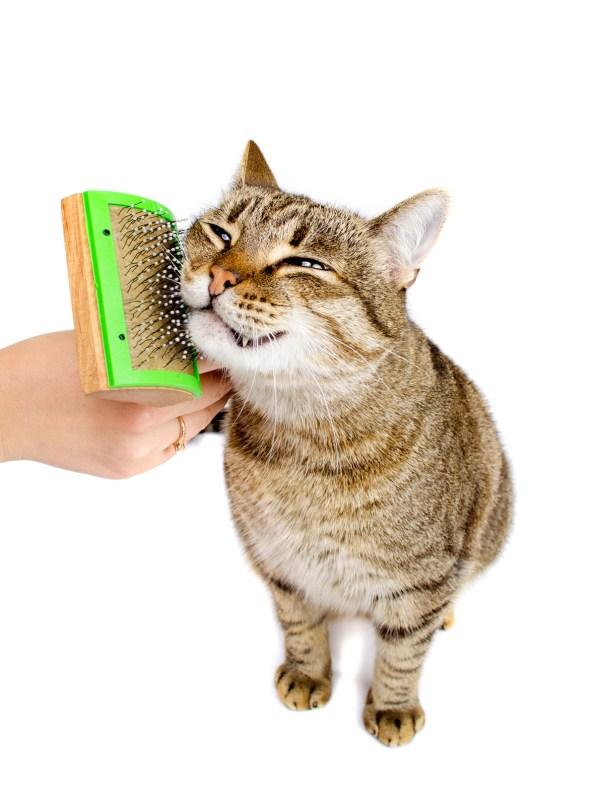 Woman combing tabby cat